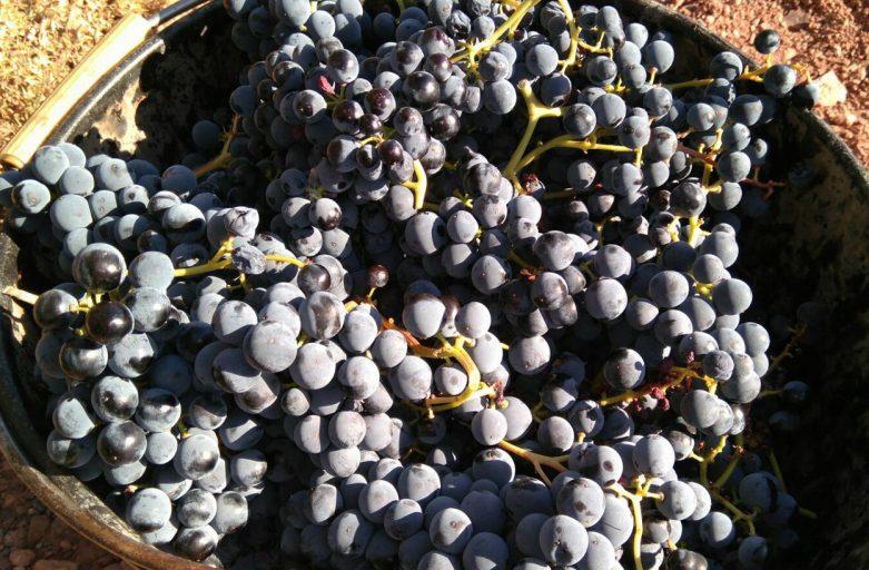 Uvas tintas recién recogidas (fuente Cooperativa Capçanes)