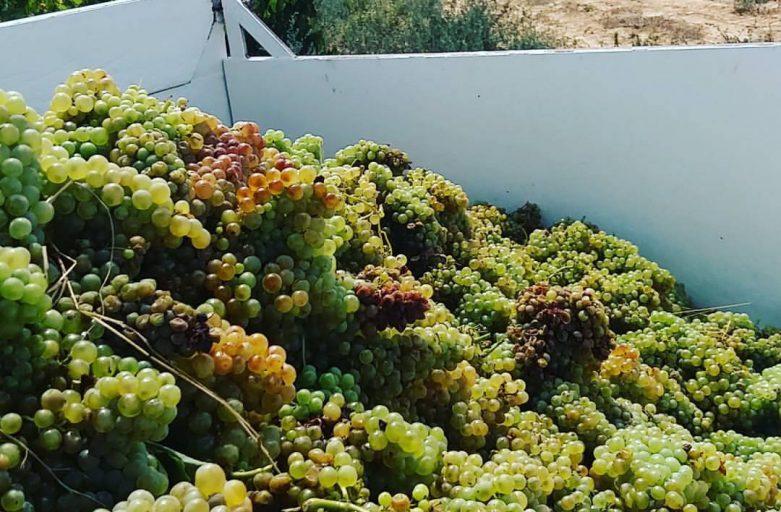 Uvas blancas durante la vendimia (fuente Can Descregut)